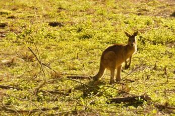 Random Kangaroo posing